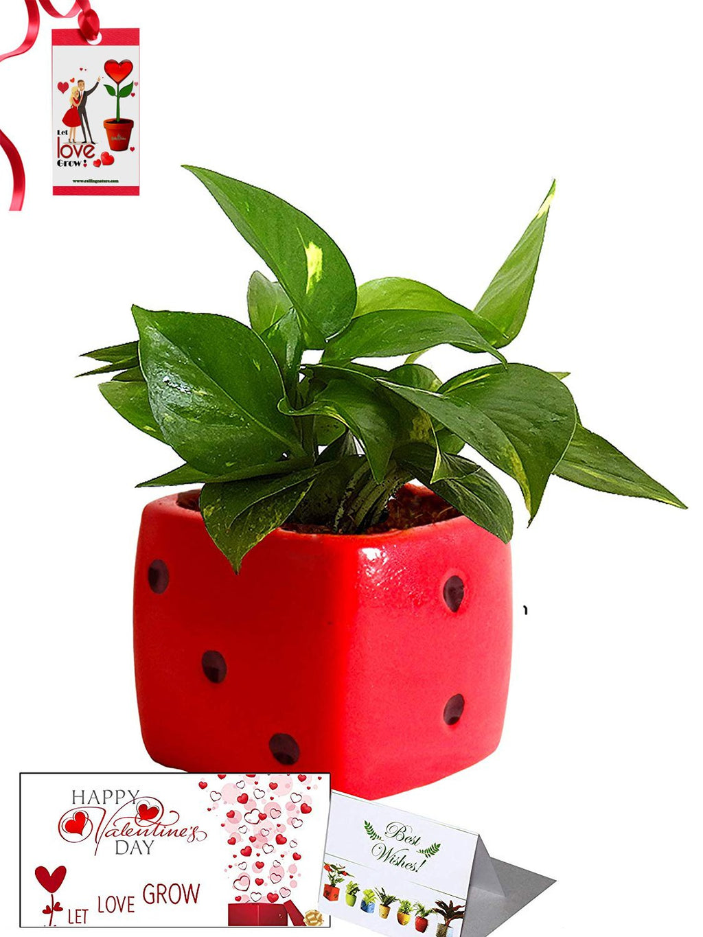 Valentine's Day Combo of Good Luck Air Purifying Money Plant in Red Dice Ceramic Pot