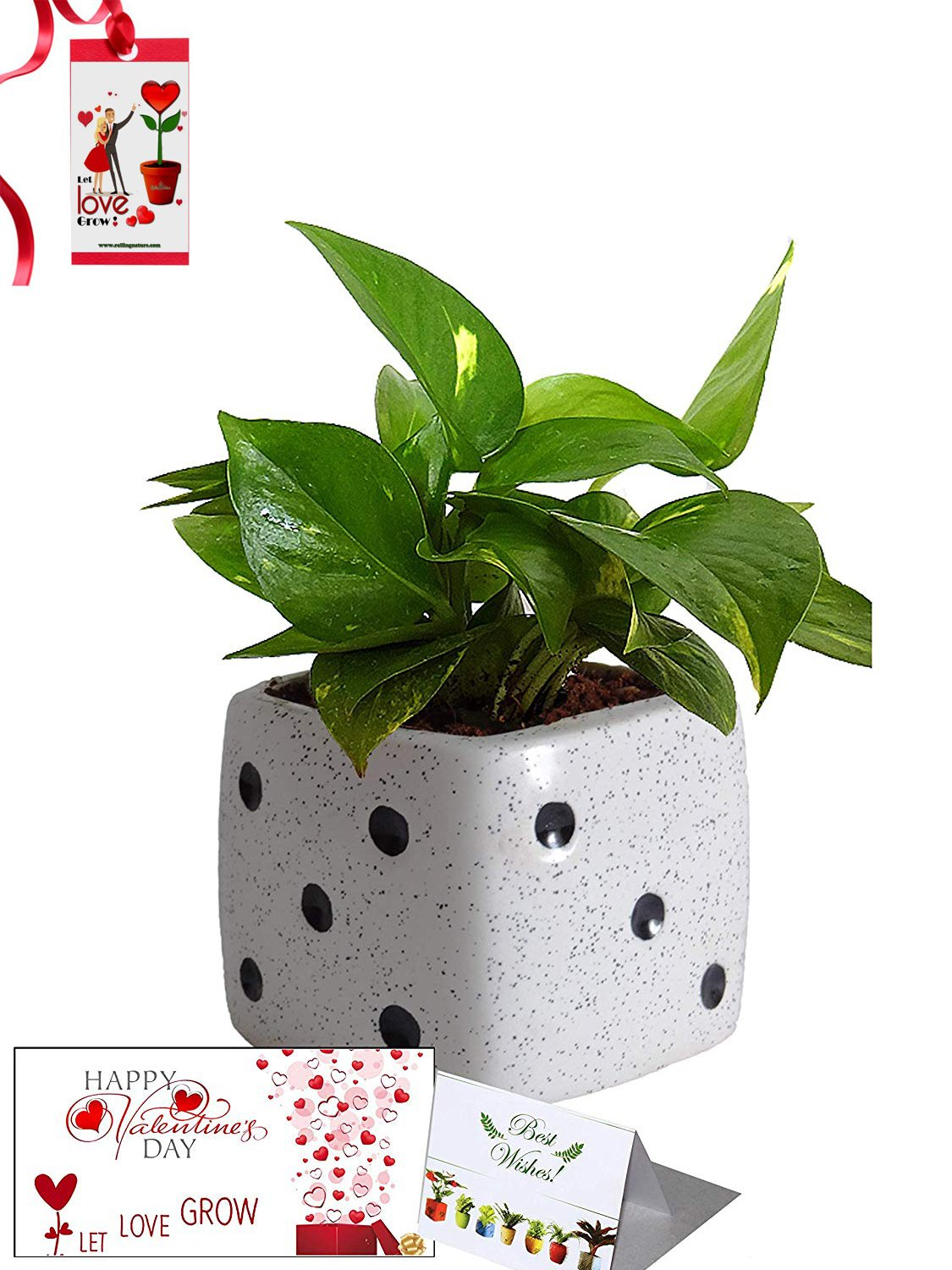 Valentine's Day Combo of Good Luck Air Purifying Money Plant in White Dice Ceramic Pot