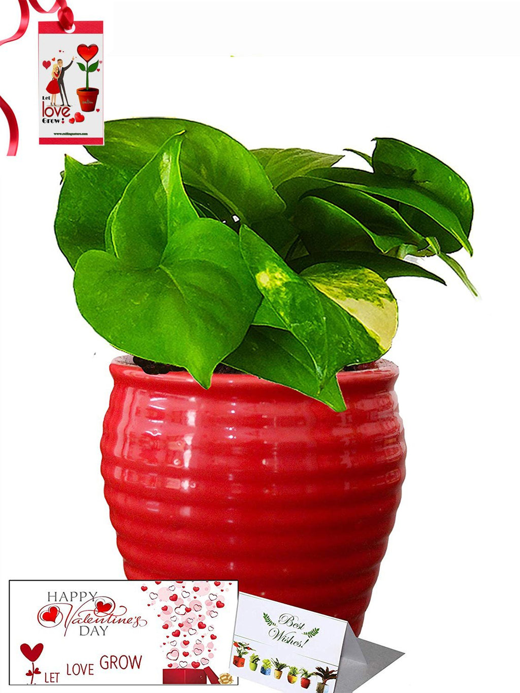 Valentine's Day Combo of Good Luck Air Purifying Money Plant in Red Ceramic Pot