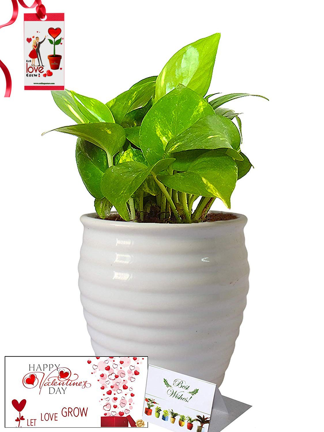 Valentine's Day Combo of Good Luck Air Purifying Money Plant in White Ceramic Pot