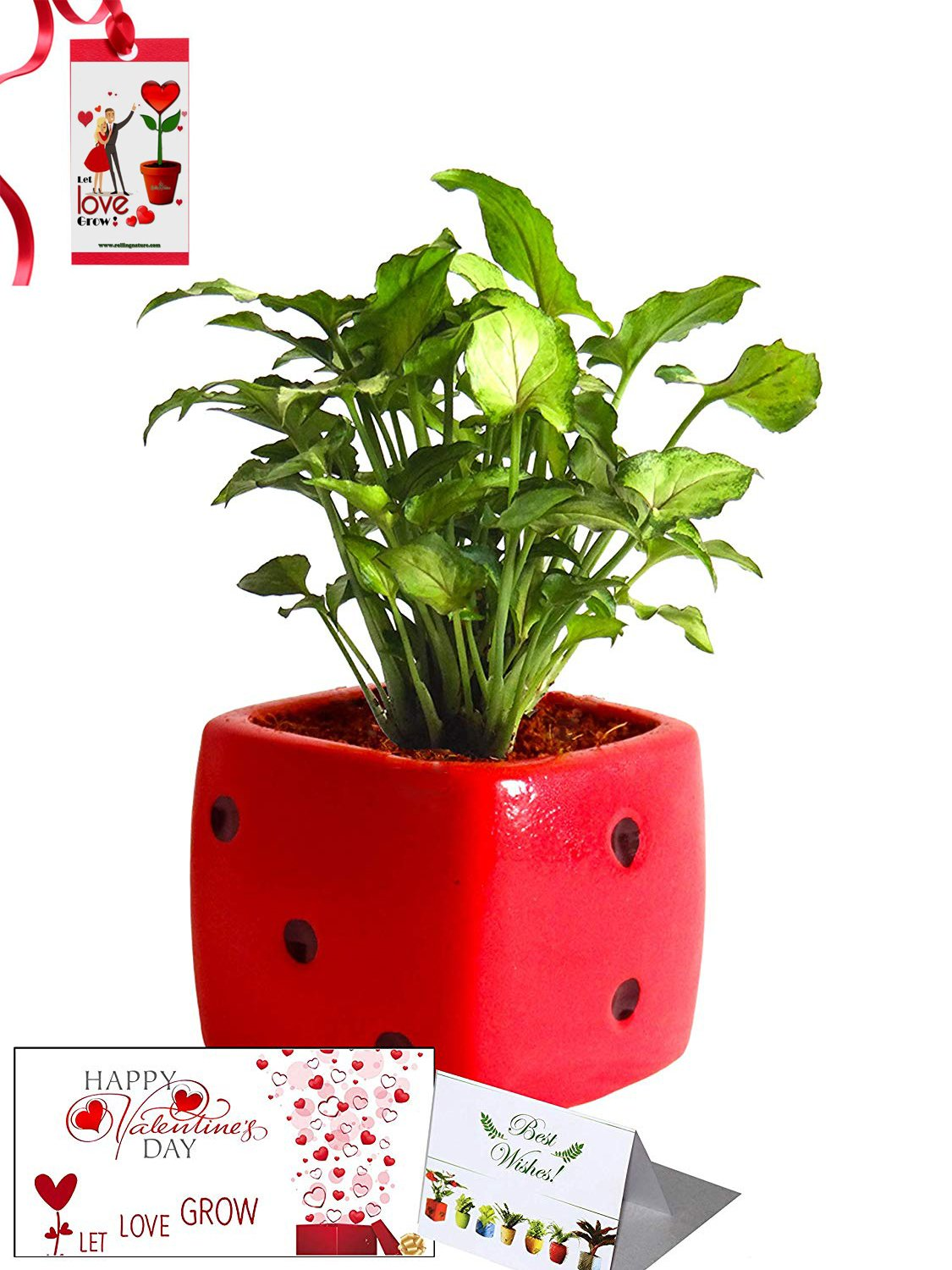 Valentine's Day Combo of Good Luck Air Purifying Green Syngonium Plant in Red Dice Ceramic Pot