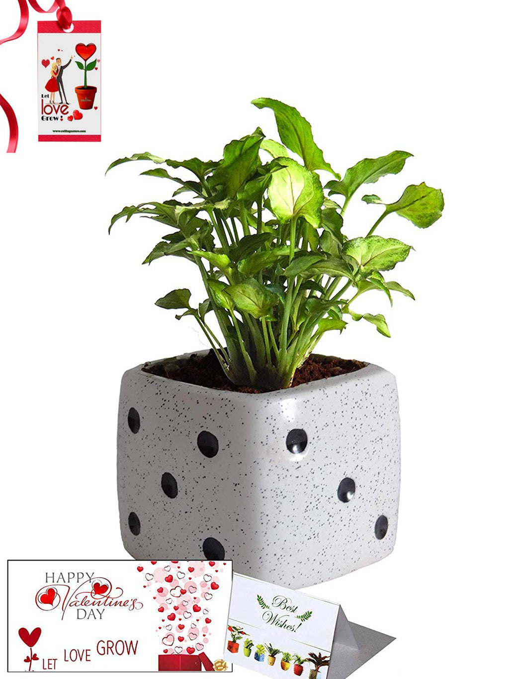 Valentine's Day Combo of Good Luck Air Purifying Green Syngonium Plant in White Dice Ceramic Pot