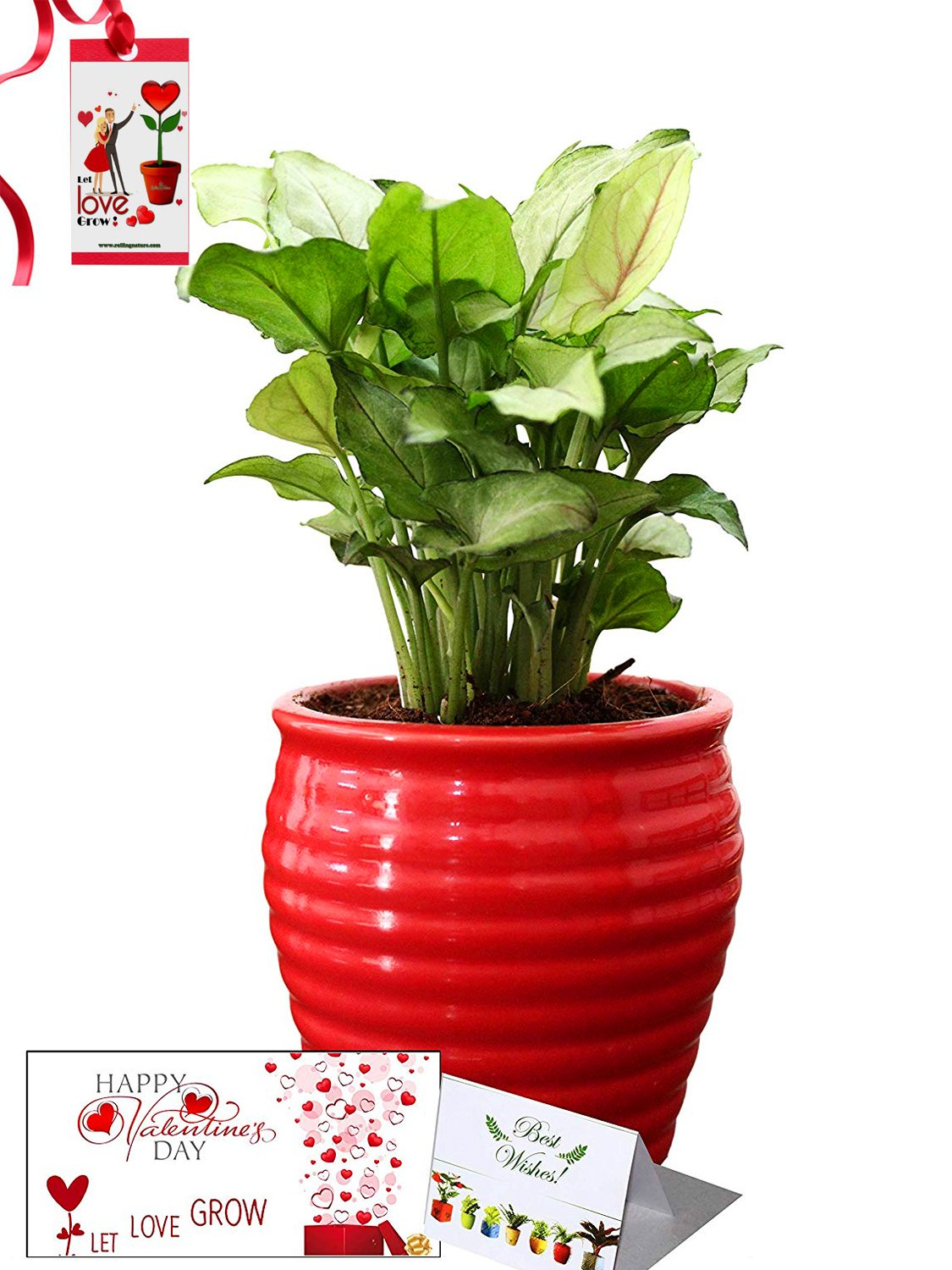 Valentine's Day Combo of Good Luck Air Purifying Green Syngonium Plant in Red Ceramic Pot