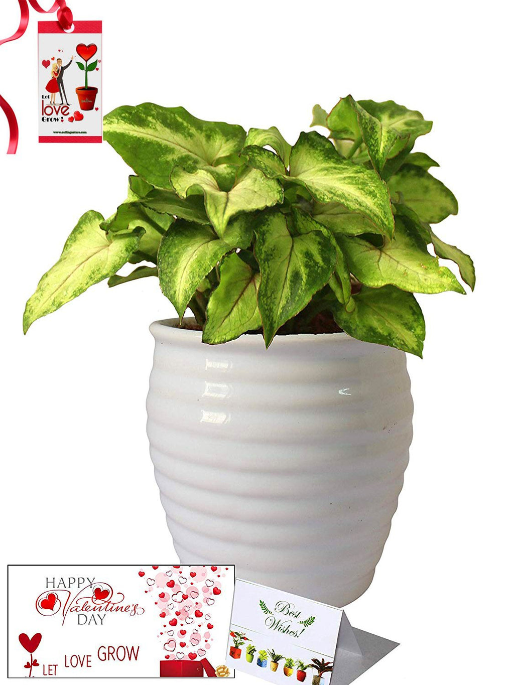 Valentine's Day Combo of Good Luck Air Purifying Green Syngonium Plant in White Ceramic Pot