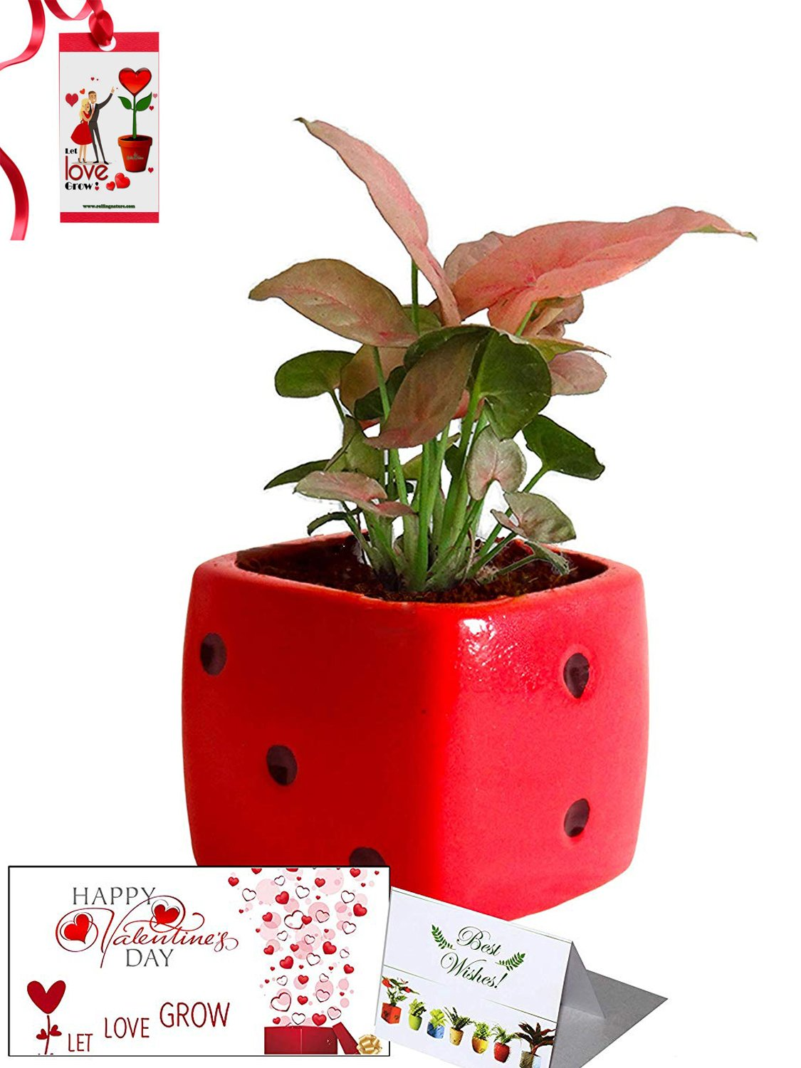 Valentine's Day Combo of Good Luck Air Purifying Pink Syngonium Plant in Red Dice Ceramic Pot