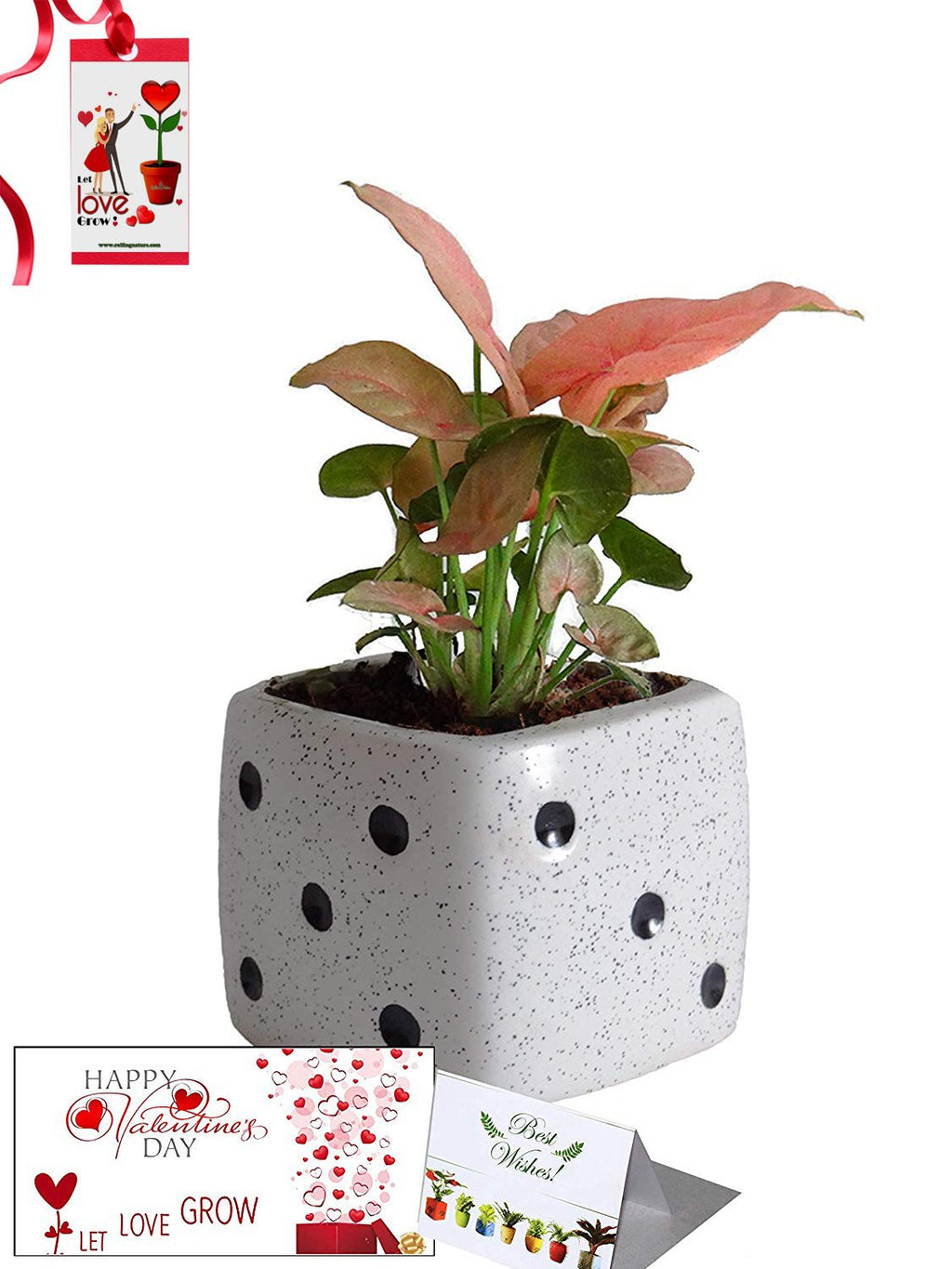 Valentine's Day Combo of Good Luck Air Purifying Pink Syngonium Plant in White Dice Ceramic Pot