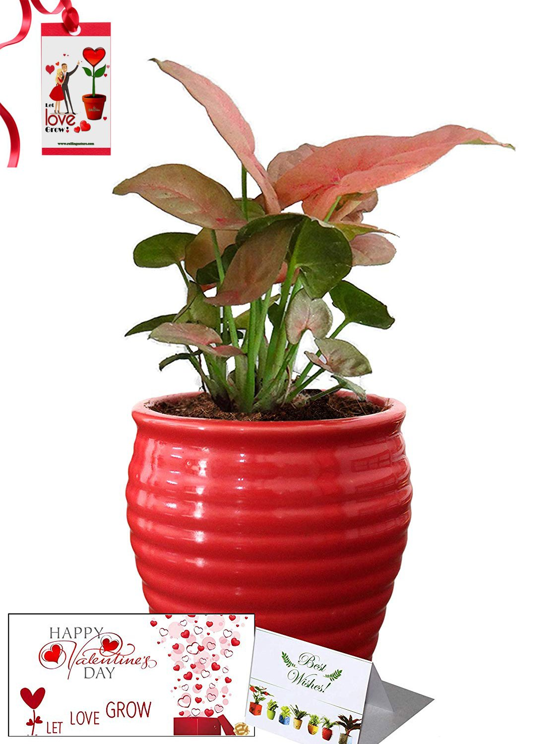 Valentine's Day Combo of Good Luck Air Purifying Pink Syngonium Plant in Red Ceramic Pot