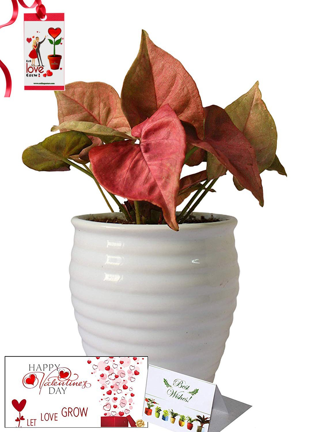 Valentine's Day Combo of Good Luck Air Purifying Pink Syngonium Plant in White Ceramic Pot