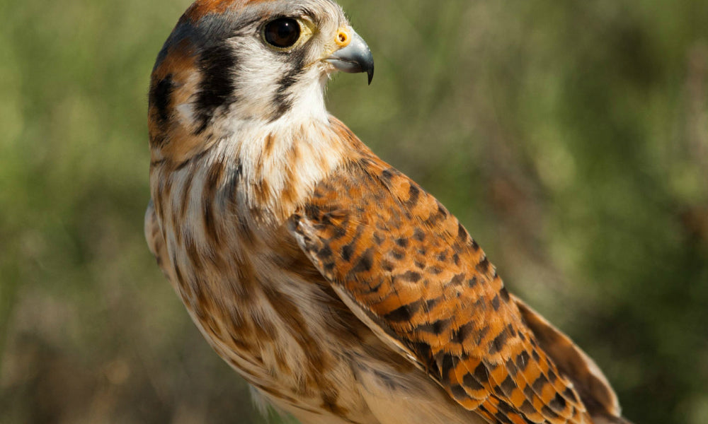 Top 10 National Parks For Birding American Kestrel