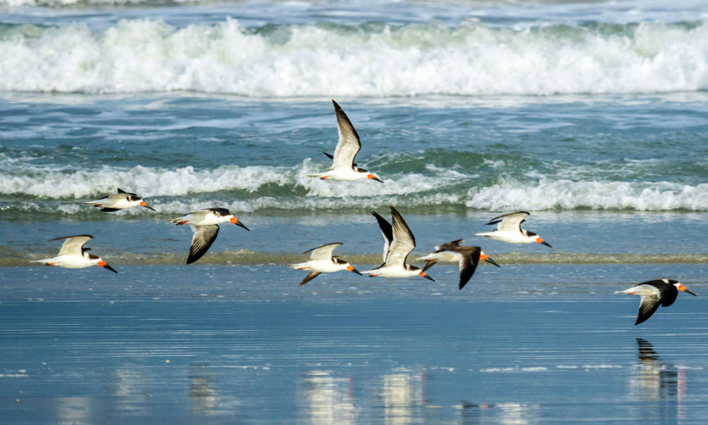 Top 10 National Parks For Birding Black Skimmers