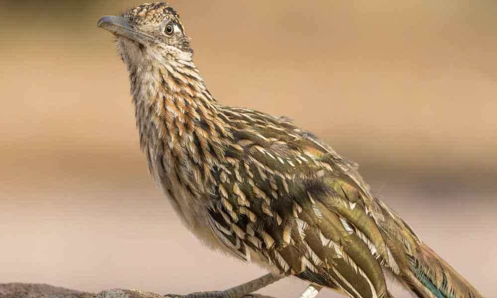 Top 10 National Parks For Birding Greater Road Runner