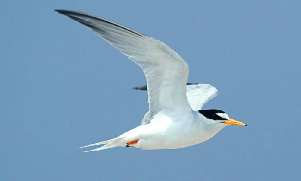 Top 10 National Parks For Birding Least Tern
