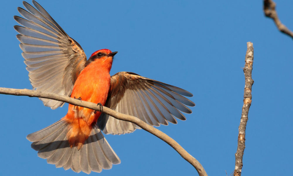 Top 10 National Parks For Birding Vermillion Flycatcher