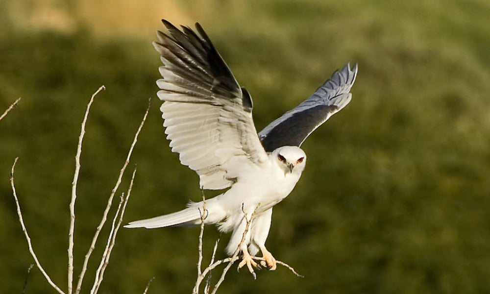 Top 10 National Parks For Birding White Tailed Kite