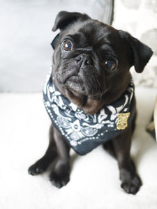 black pug in bandana