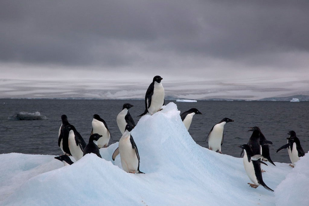 """Adelie Penguins on iceberg"" by Jason Auch - originally posted to Flickr as IMG_0760. Licensed under CC BY 2.0 via Wikimedia Commons - https://commons.wikimedia.org/wiki/File:Adelie_Penguins_on_iceberg.jpg#/media/File:Adelie_Penguins_on_iceberg.jpg"