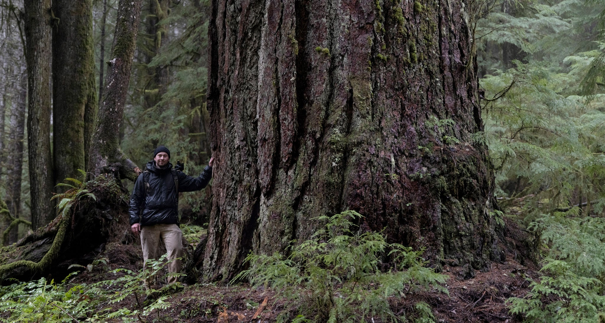 With a CBH of 33,' the Grandma Tree is the second thickest Douglas Fir in the U.S. and the fourth in the world.