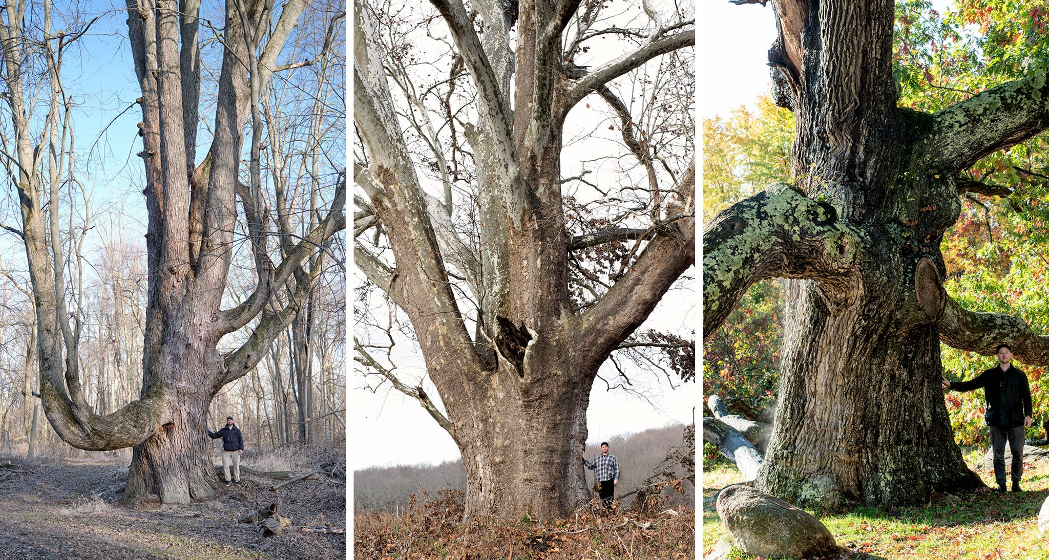 (L) One of the largest Freeman's Maples in the U.S. A Freeman's Maple is a hybrid between a Red and Silver Maple.  (Center) The Pine Plains Sycamore, the largest recorded American Sycamore in the New York and New England area. (R) The Dewey Granby Oak, a sprawling white oak located in Connecticut.