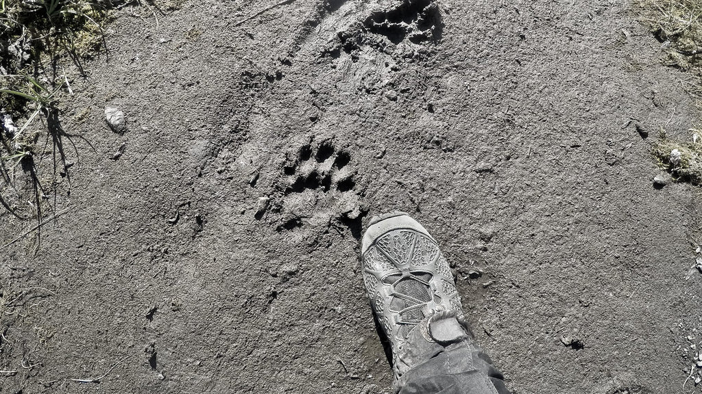 Fresh wolverine tracks near camp.