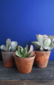 Trio of succulents in clay pot