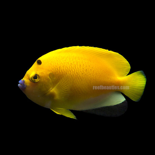 Flagfin Angel EXPER (Apolemichthys Trimaculatus)