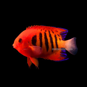 Flame Angel (Centropyge Loricula)