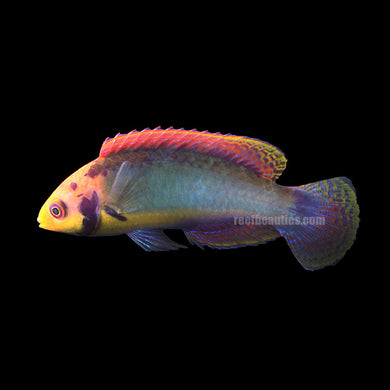 Red Head Solon Fairy Wrasse (Cirrhilabrus Solorensis)
