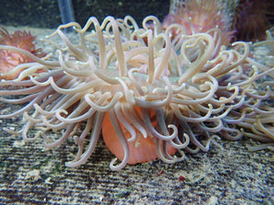 Long Tenacle Anemone (Macrodactyla Doreensis)