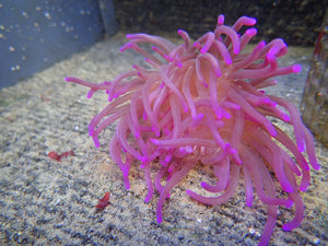 Long Tentacle Purple (Macrodactyla Doreensis)