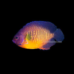 "alt=""Coral Beauty Angelfish"