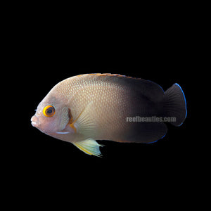 "alt=""Halfblack Angelfish"""