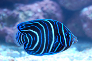"alt=""Blue Koran Angelfish"""