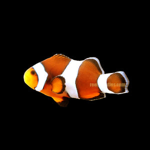 Percula Clown (Amphiprion Ocellaris)