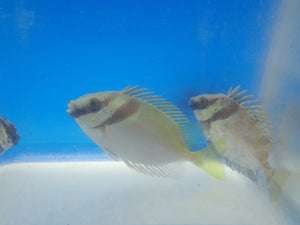 Rabbitfish (Siganus Virgatus)
