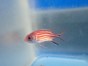 Squirrelfish (Sargocentron)
