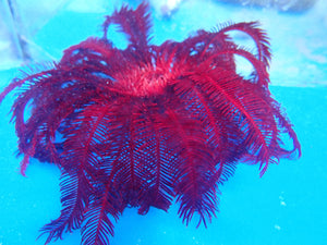 Feather Starfish Red (Himerometra Specie)