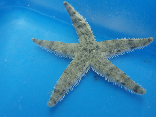 Sand Shifting Starfish (Astropecten Polycanthus)