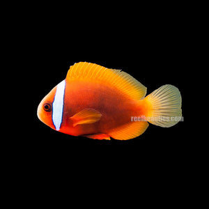 Tomato Clown (Amphiprion Frenatus)