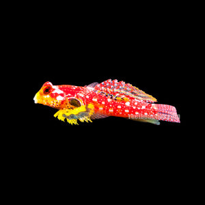 Ruby Red Dragonet Blenny (Synchiropus Stellatus)