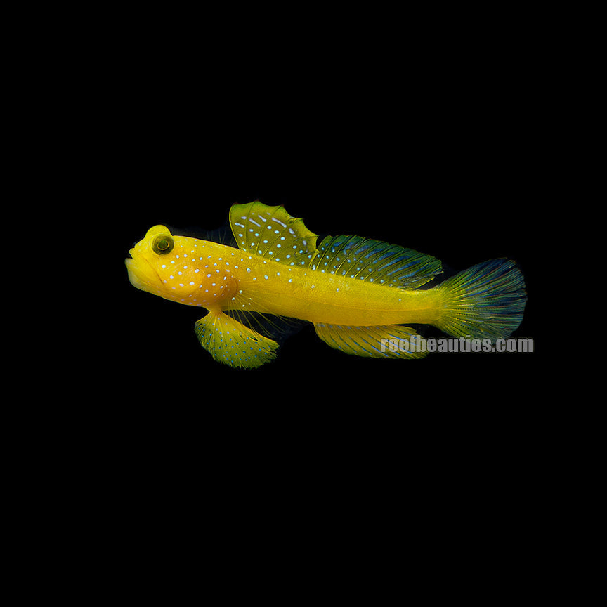 Watchman Yellow Goby (Cryptocentrus Cinctus)