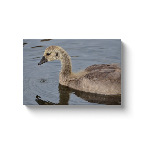 Fuzzy Gosling - photodecor.net