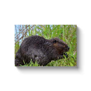 Backyard Beaver - photodecor.net