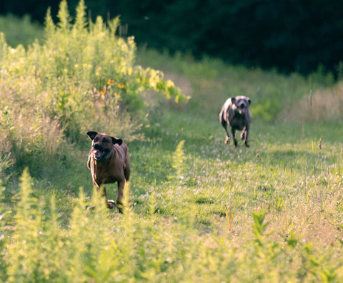 dogs running in a meadow wearing SpotOn collars