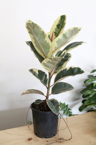 Ficus Elastica 'Tineke' - PICK UP / LOCAL DELIVERY ONLY