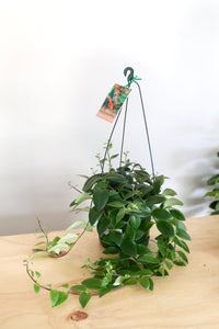 Aeschynanthus radicans (Lipstick plant) - PICK UP / LOCAL DELIVERY ONLY