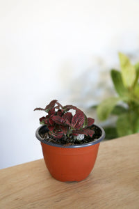 Fittonia Red Variety