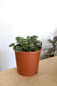 Peperomia caperata 'Moonlight' - PICK UP / LOCAL DELIVERY ONLY