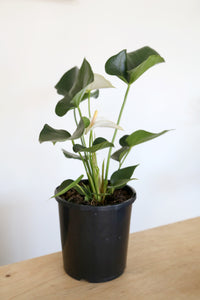 Anthurium Andraeanum (White flower) - PICK UP / LOCAL DELIVERY ONLY