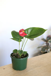 Anthurium andraeanum 'Flamingo Red'
