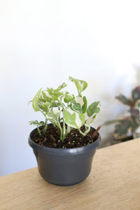 Epipremnum aureum 'Snow Queen' - Large - PICK UP / LOCAL DELIVERY ONLY